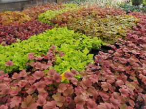 Heuchera groundcover