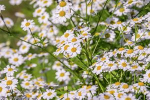 Chamomile can be used in tea it's a stress busting plant
