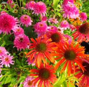 Echinacea butterfly kisses in pink and Echinacea Skipper Orange.