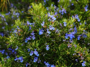 rosemary Rosmarinus officinalis is a herb that is exceptionally versatile and it's good for you