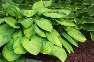 hosta green plant with yellow splashes on leaves