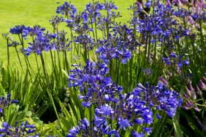 Blue Agapanthus aren't generally eaten by slugs and snails