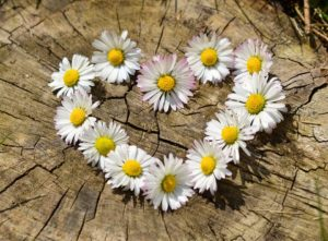 Daisy flowers placed to make a heart shape