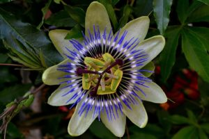 passion flower on vine