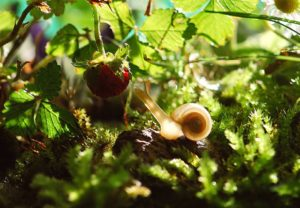 snail eating soft fruit raspberry