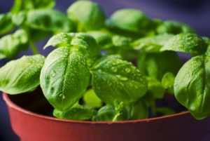 basil herb keeps insects away