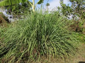 Cymbopogon lemongrass is a great plant to keep insects away