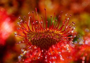 sundew carnivorous plant fly eating species