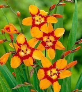 Crocosmia garden perennials with orange flowers