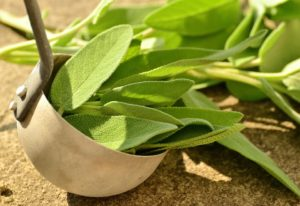 Sage plant Salvia officinalis