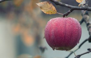 Autumn apple on a tree