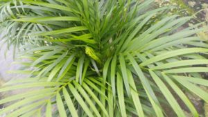 House plant palm tree indoor palm