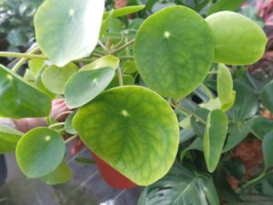 Pilea peperomoides money plant