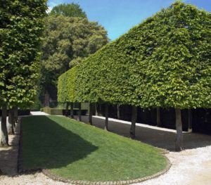 Pleached evergreen trees at Hidcote Manor gardens